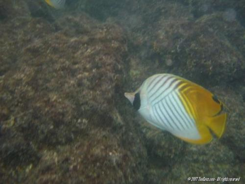 normal Kahaluu20070802081ThreadfinButterflyfish
